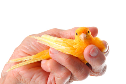 Canary in the Hand